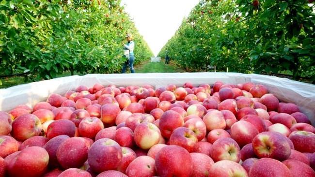 ضوابط فنی صادرات سیب ابلاغ شد